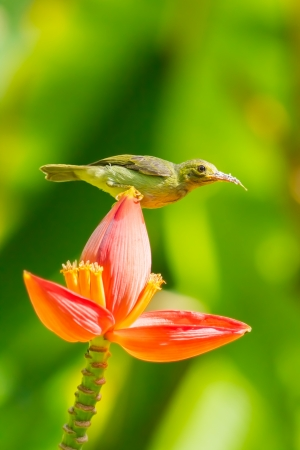 Female Brown-throated Sunbird  Anthreptes malacensis  on the banana flower Stock Photo - 20007992