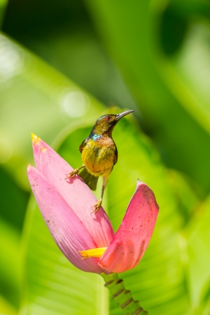 brown throated: Male Brown-throated Sunbird with banana flower
