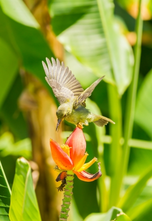 brown throated:  Female Brown-throated Sunbird flying on banana flowe