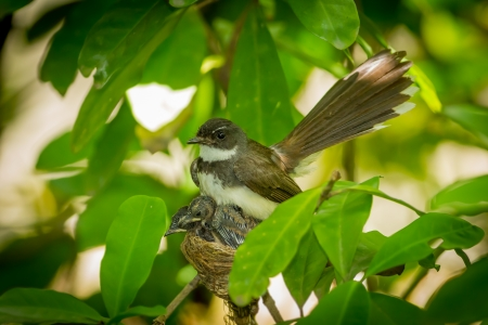 Pied Fantail bird or Rhipidura javanica with sweet baby Stock Photo - 20378361