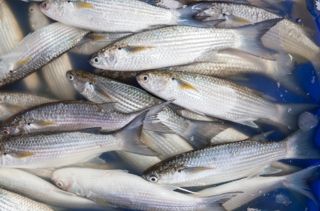 Fresh Mullet fish  L  seheli  was sale in Thailand Stock Photo