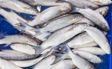 Fresh Mullet fish  L  seheli  was sale in Thailand fish market photo