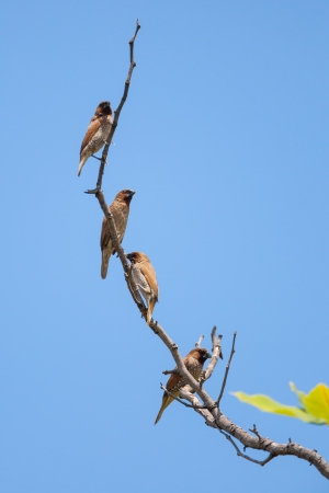 feathe: Spotted munia  Lochura punctulata  with sky background in Thailand