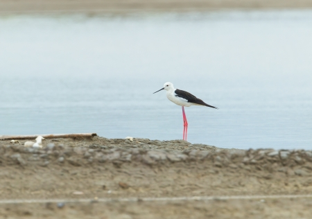 black winged stilt: black winged stilt  Himantopus himantopus  stand alone