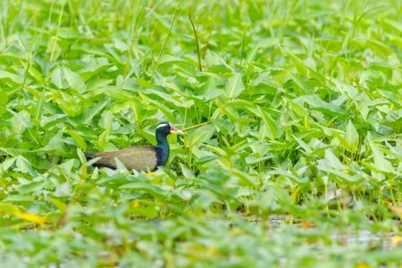 jacana: Bronze-winged Jacana  Metopidius indicus   finding the food in the pool