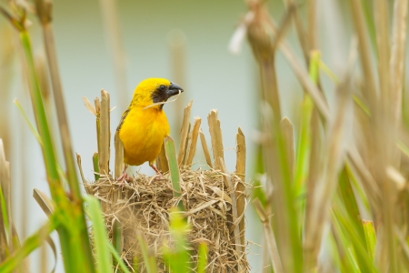 Male Asian Golden Weaver  with his nest photo