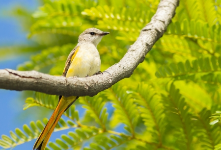 Female Fiery Minivet on the tree in nature Stock Photo - 21044945