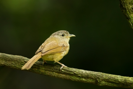 sic: Female Buff-breasted Babbler  Pellorneum tickelli  on the branch
