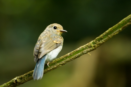 Young Large Blue Flycatcher Cyornis magnirostris  in nature photo