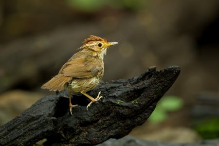nape: Puff-throated Babbler or Spotted Babbler  Pellorneum ruficeps  act on the wood