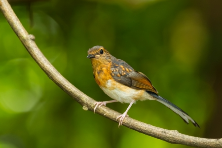 Young male White-Rumped Shama Copsychus malabaricus  in nature Stock Photo - 21436166