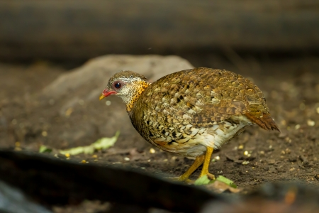Scaly-breasted Partridge Arborophila chloropus  in nature photo