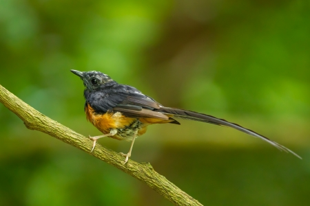 Male White-Rumped Shama Copsychus malabaricus  in the nature Stock Photo - 21436177