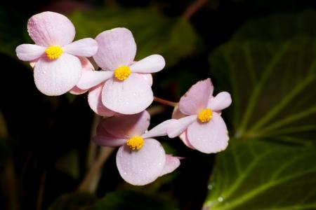 hayden: Pink Begonia Joe Hayden flower in nature