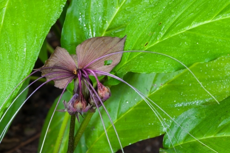 bracts large:   Bat flower  Tacca chantrieri  Andre  in nature