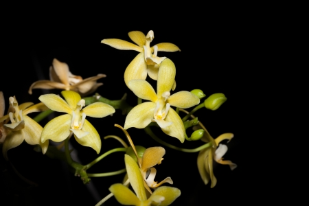 Doritis   Phalaenopsis hybrid orchid for background use photo