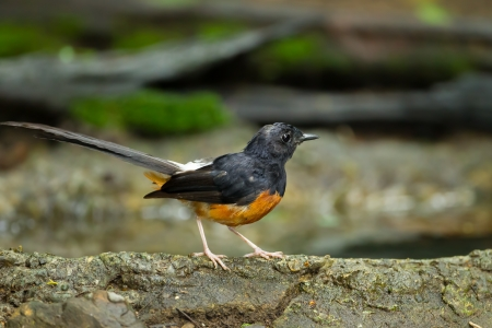 White-Rumped Shama Copsychus malabaricus  on the rock Stock Photo - 21659178