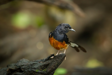 White-Rumped Shama Copsychus malabaricus  in nature Stock Photo - 21659179