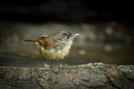 sic: Female Buff-breasted Babbler  Pellorneum tickelli  on the rock