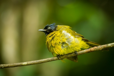 Black-crested Bulbul bird after shower in nature photo