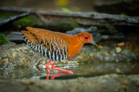 bluejay: Red-Legged Crake  Rallina fasciata   walking in the forest of Thailand