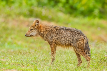 Nature Asiatic jackal or Golden jackal in forest of Thailand Stock Photo - 22126082