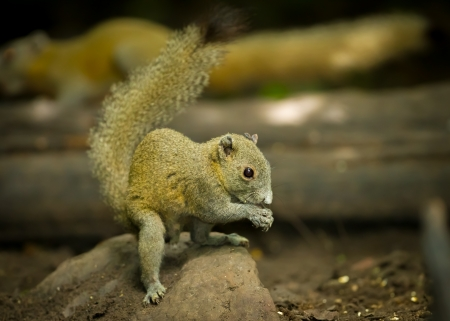 Wild Squirrel eating in the forest of Thailand photo