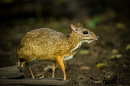 The Mouse deer  Tragulus javanicus  is in wild nature of Thailand Stock Photo - 22126594
