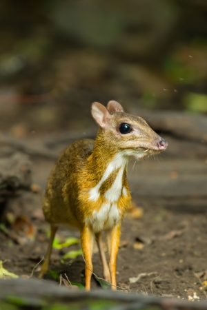 Chevrotain or Mouse deer  Tragulus javanicus  is staring at us in wild nature of Thailand