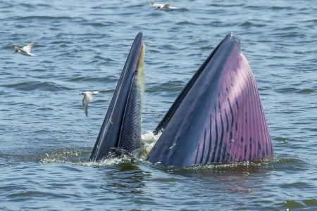 baleen whale: Close up of Bryde s whale open her mount