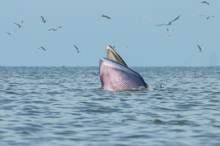 anchovy fish:  Bryde s whale jump from the water to hook anchovy fish Stock Photo