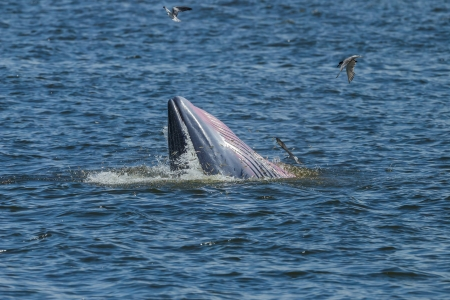 shutting: Close up of Bryde s whale shutting her mouth in Thailand gulf