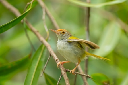 Common Tailorbird  Orthotomus sutorius  on the branch in nature Stock Photo