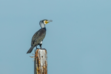 carbo:  Great Cormorant  Phalacrocorax carbo  in nature