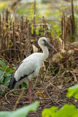 anastomus: Asian Openbill or Asian Openbill Stork  Anastomus oscitans  in nature Stock Photo