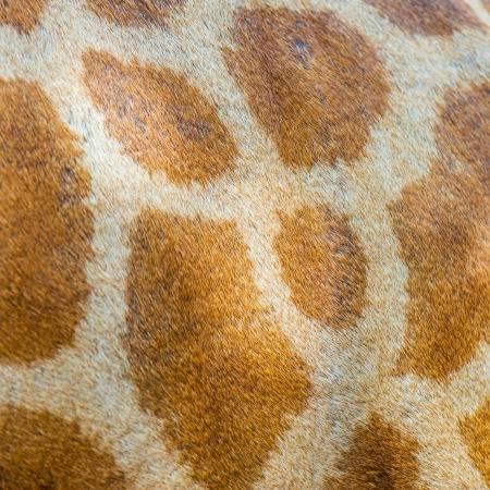 Texture of Giraffe skin for animal texture use  photo