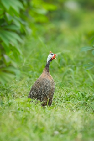 guinea worm: Helmuted Guinea Fowl   Numida meleagris   screaming in nature