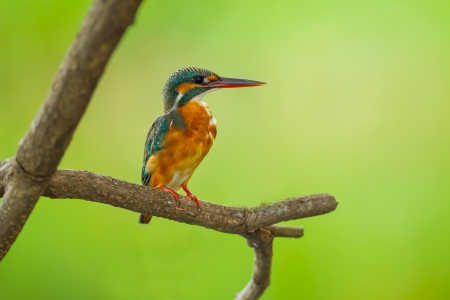 Male Common Kingfisher catch on the branch in nature  photo