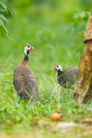 guinea worm: Couple of Helmuted Guinea Fowl  Numida meleagris