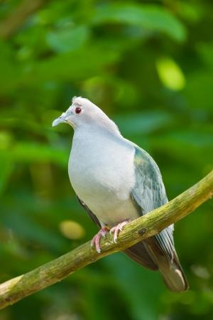 prin: El cierre completo de Verde Imperial Pigeon captura en el �rbol
