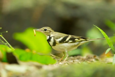 wagtail: Forest Wagtail  Dendronanthus indicus  with her worm in nature of Thailand Stock Photo