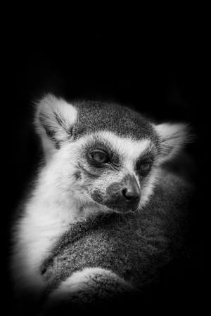 ring tailed: The portrait of Ring- tailed Lemur  Lemur catta