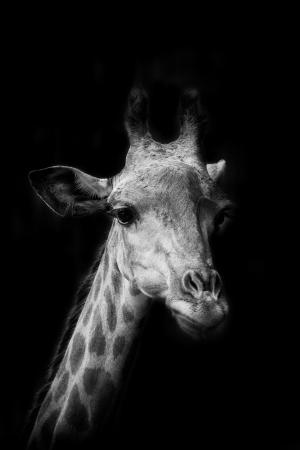 The portrait of Giraffe in black background