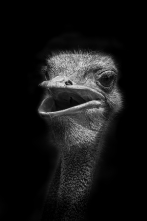 The portrait of Ostrich  Struthio camelus