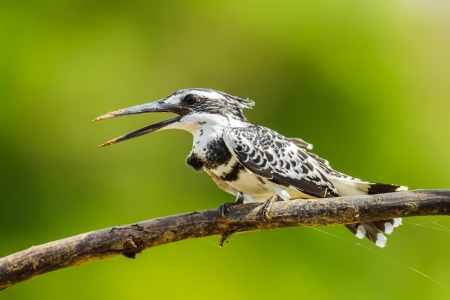 Portrait of Pied Kingfisher  Ceryle rudis  in nature photo