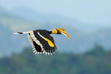 카오 야이 국립 공원, 태국에서 자연에서 비행 위대한 혼빌 Buceros bicornis