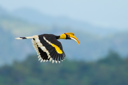 Great Hornbill  Buceros bicornis  flying in nature at Khao Yai National Park,Thailand Imagens