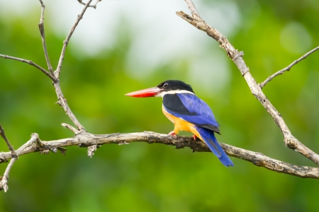 alcedinidae:  Beautiful Black-capped Kingfisher on the branch in nature