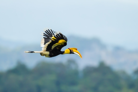 Great Hornbill  Buceros bicornis  flying in nature at Khao Yai National Park,Thailand