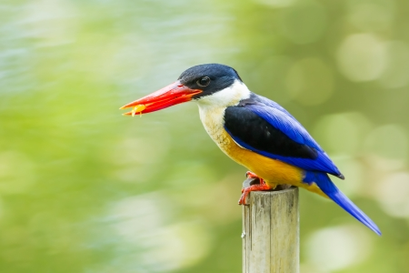 coraciiformes: Black-capped Kingfisher  Halcyon pileata  with fish in her mount Stock Photo